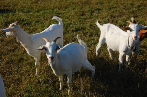 german goats